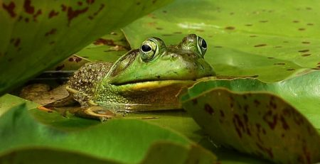 In southern India, within a wet evergreen forest, the male white-spotted bush frog lures a female into his bamboo nest
