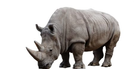 Nothern White Rhino is on verge of extinction with the only male recently passing away