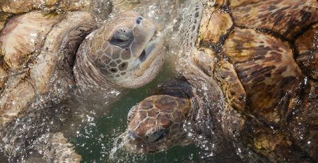 sea turtles sense season change in their head, this tells them when to go back home, dead sea turtles were found that theirs didn't function as well