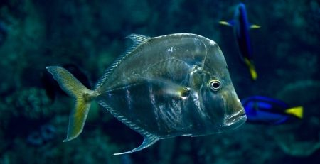 Living deep in the ocean will most likely make you slow and sluggish, but not for the opah, or moonfish